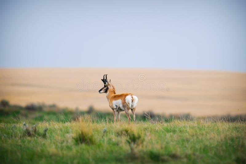 Pronghorn (Antilocapra americana) royalty free stock photos