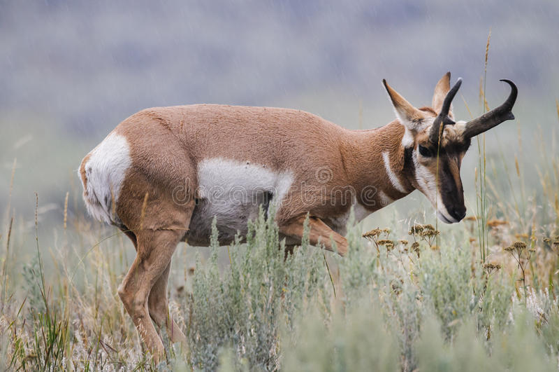 Pronghorn (Antilocapra americana) stock photos