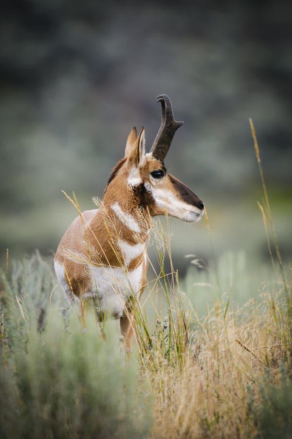 Pronghorn (Antilocapra americana) royalty free stock images