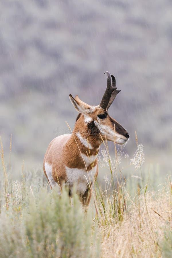 Pronghorn (Antilocapra americana) royalty free stock image