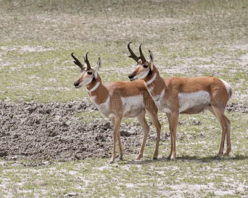 Pronghorn antilop arkivfoto