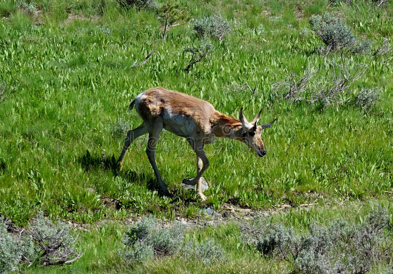 Pronghorn antilop - Idaho royaltyfria bilder