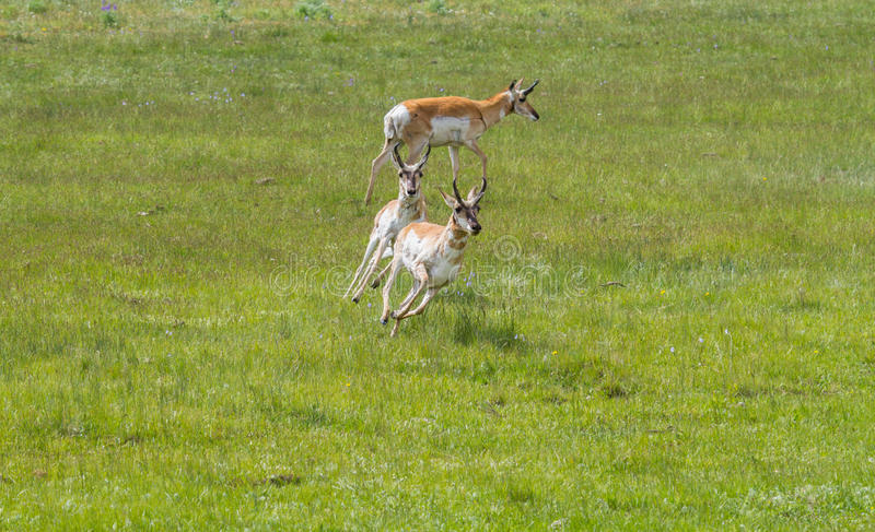 Pronghorn antilop som jagar och kör royaltyfri foto