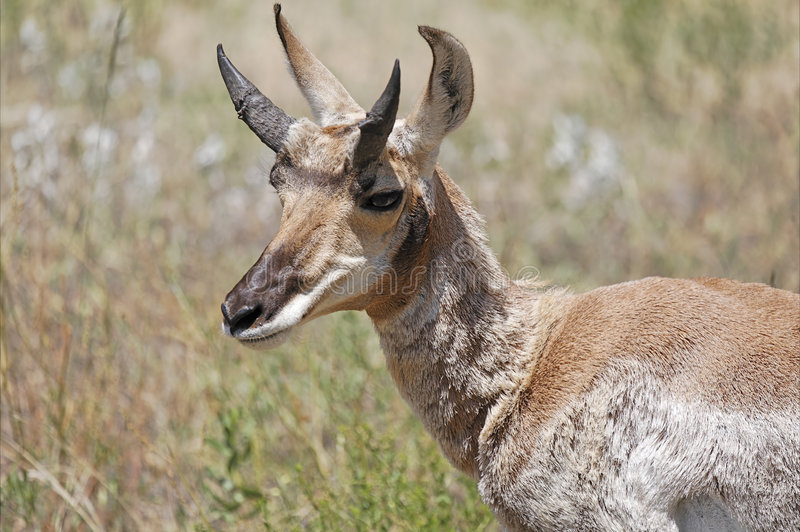 Pronghorn Antilope stockfoto