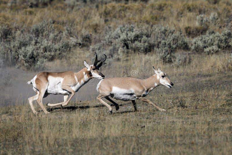 Pronghorn Antilope stockbilder