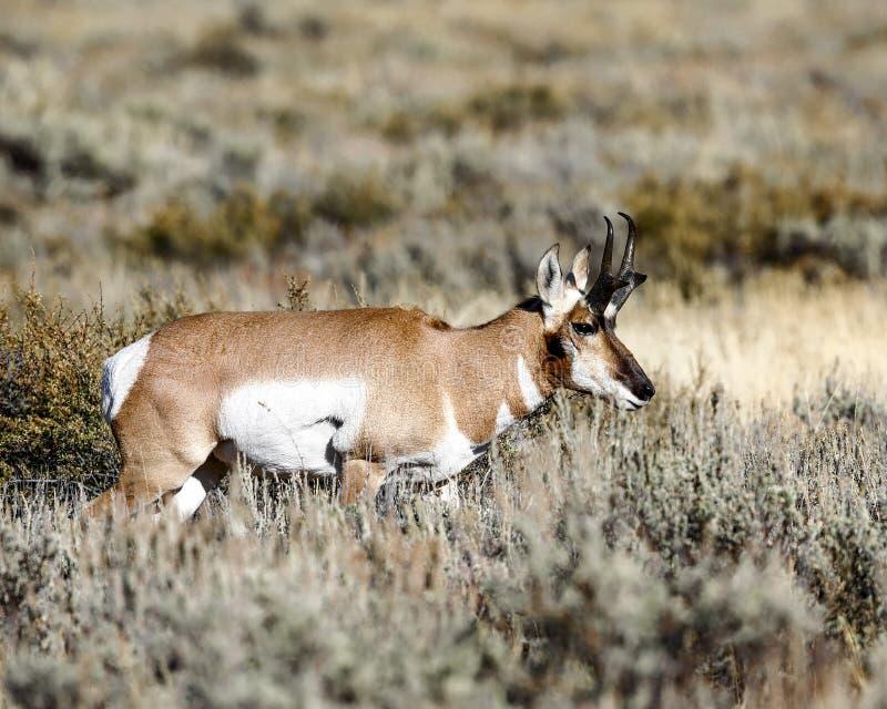 Pronghorn bock i djupt gräs royaltyfri fotografi
