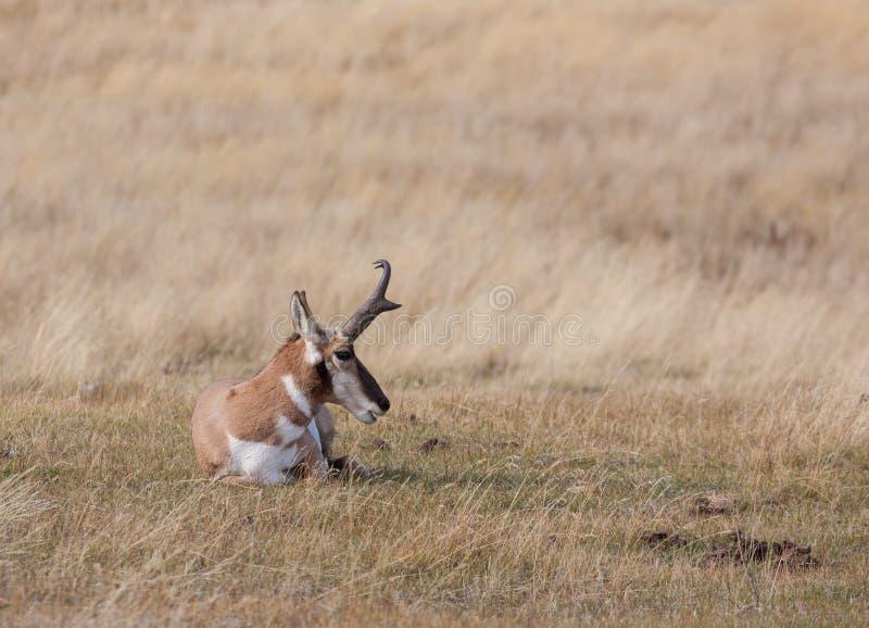 Pronghorn Buck Bedded na pradaria imagens de stock