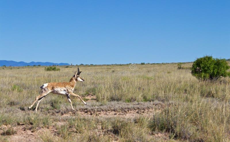 Pronghorn Buck Running till och med gräs- fält i öknen arkivfoto