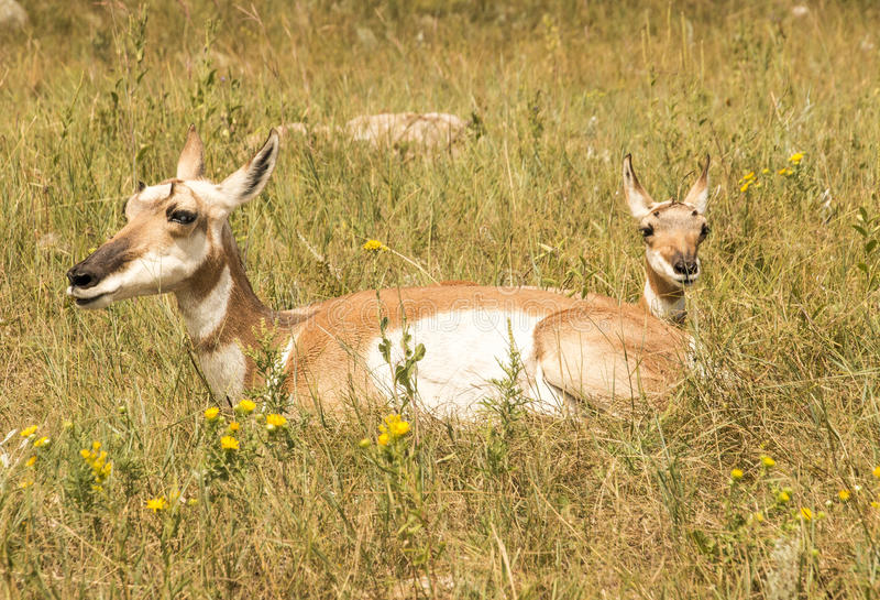 Pronghorn and child stock image