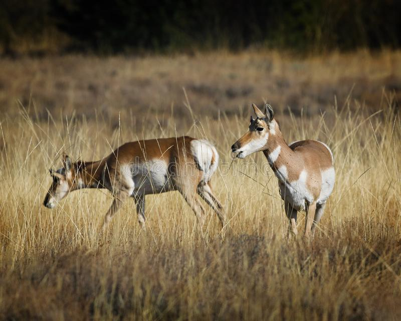 Pronghorn die haar kudde-partner wat informatie geven stock fotografie