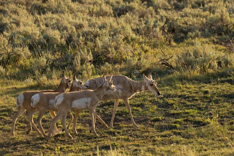 Pronghorn em Lamar Valley Yellowstone fotos de stock royalty free