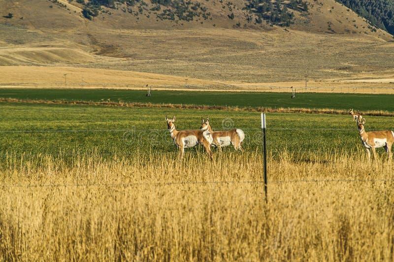 Pronghorn em Montana imagens de stock royalty free