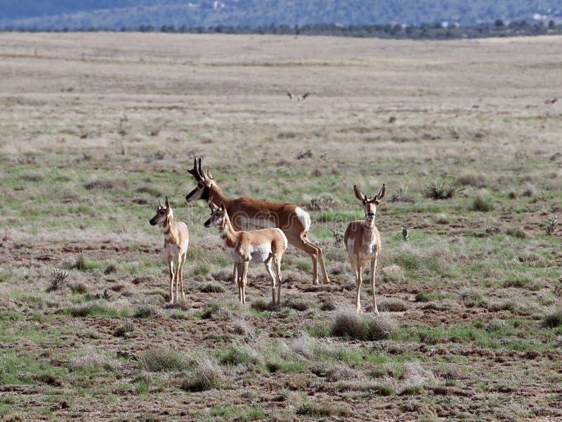 Pronghorn-Familie in Prescott Highlands stockbild