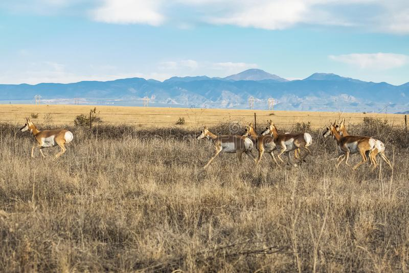 Pronghorn flock mot Rocky Mountains arkivbild