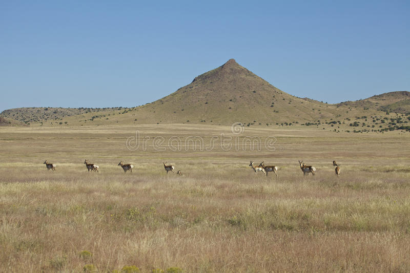 Download Pronghorn Herd On The Prairie Stock Photo - Image: 26861180