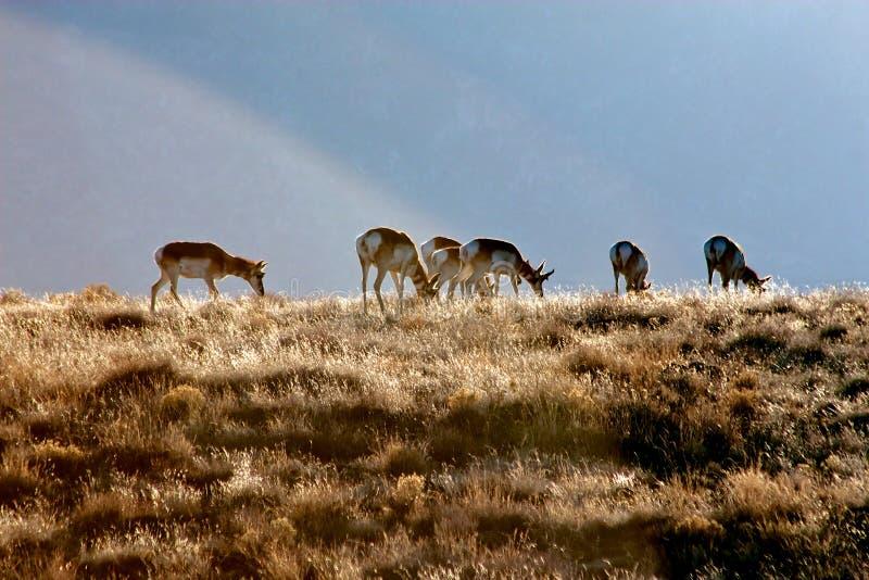 Pronghorn-Herde lizenzfreie stockfotografie