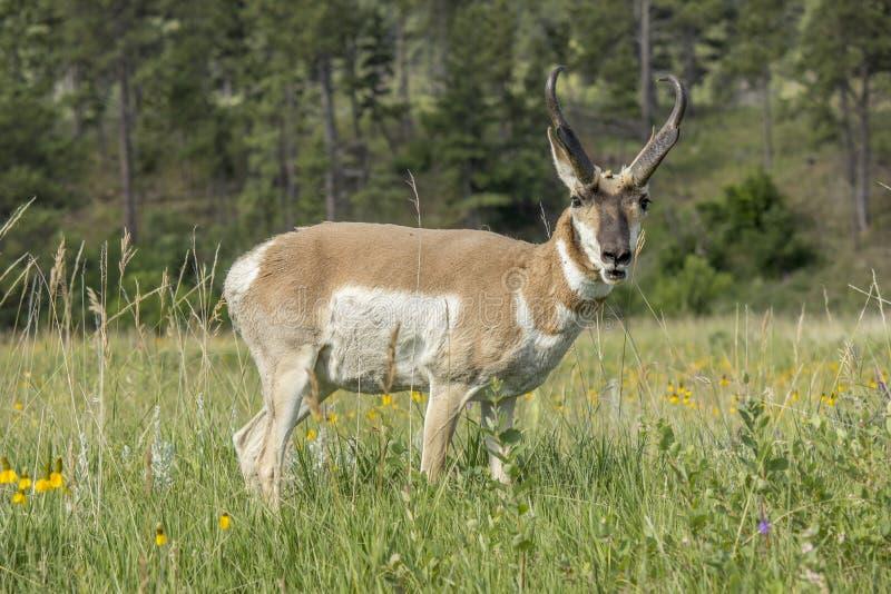 Pronghorn i ett fält arkivfoto