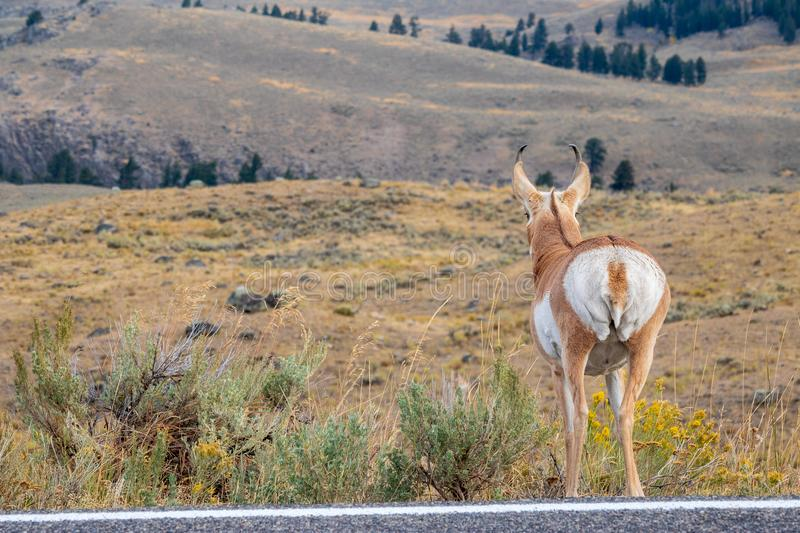 Pronghorn looks at the prairie royalty free stock photography