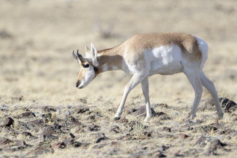Pronghorn, mâle, frôlant sur la prairie images stock