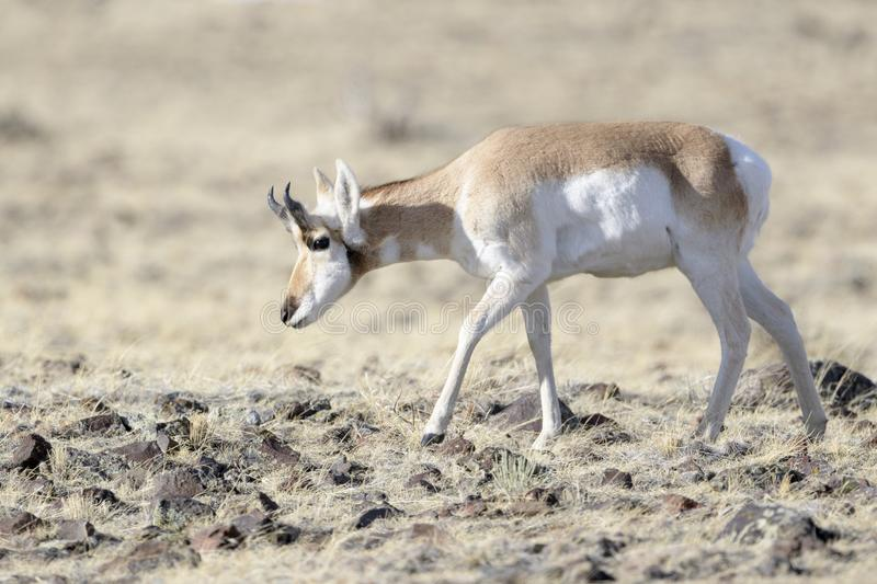 Pronghorn,male, grazing on prairie stock images