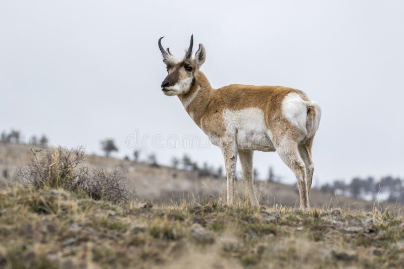 Pronghorn masculino que se coloca en la colina en invierno en Yellowstone imagenes de archivo