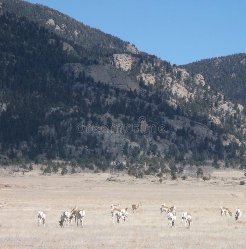 Pronghorn nära den 11 mil kanjonen royaltyfri bild