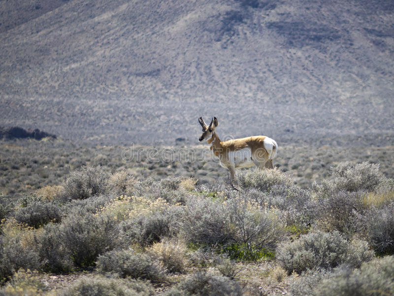 Download Pronghorn In Northern Nevada Stock Image - Image: 19648417