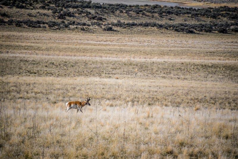 Pronghorn op het gebied van het Park van de Staat van het Antilopeeiland, Utah stock afbeeldingen