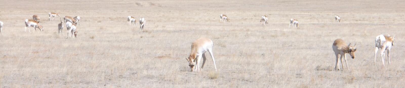 Pronghorn on South Park royalty free stock image