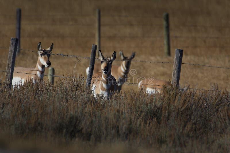 Pronghorn staart neer royalty-vrije stock foto