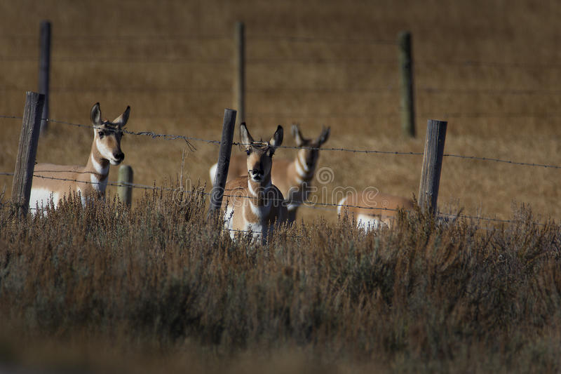 Pronghorn stare down royalty free stock photo