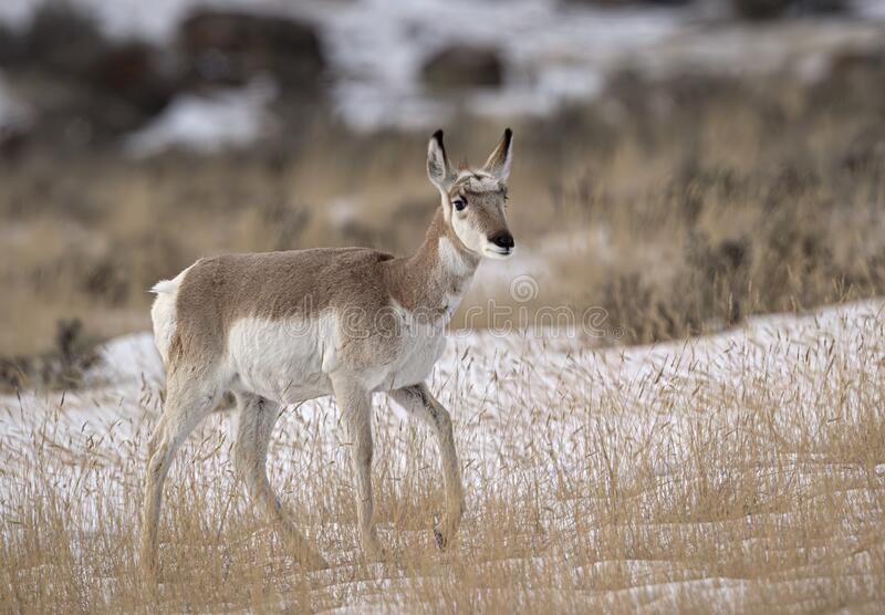 Pronghorn Yellowstone January 2020. Pronghorn antelope find a way to survive in the freezing winter temperatures of Yellowstone National Park royalty free stock photos