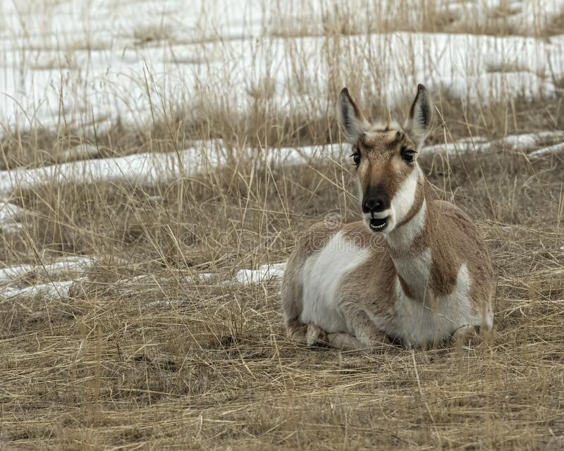 Pronghorn Yellowstone January 2020 royalty free stock images