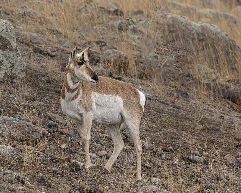 Pronghorn Yellowstone January 2020. Pronghorn antelope find a way to survive in the freezing winter temperatures of Yellowstone National Park stock image