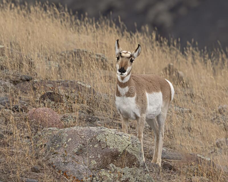 Pronghorn Yellowstone January 2020 stock images