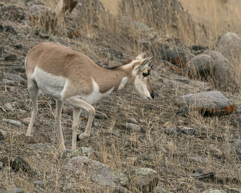 Pronghorn Yellowstone January 2020. Pronghorn antelope find a way to survive in the freezing winter temperatures of Yellowstone National Park royalty free stock photo