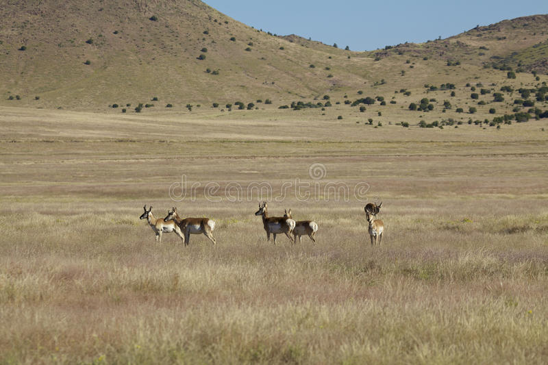 Download Pronghorns Standing On The Prairie Stock Photo - Image: 26861192