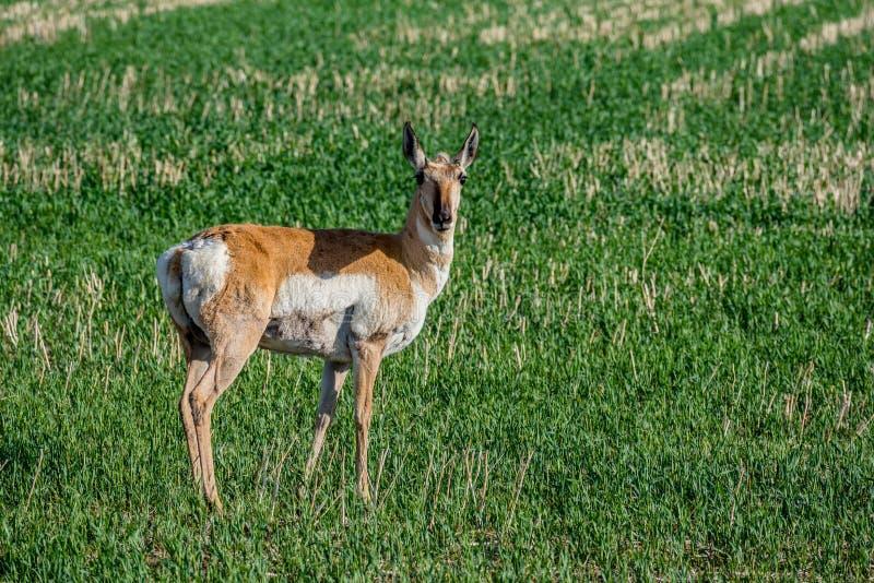 Pronhornantilope het weiden op gebied in Saskatchewan, Canada royalty-vrije stock foto
