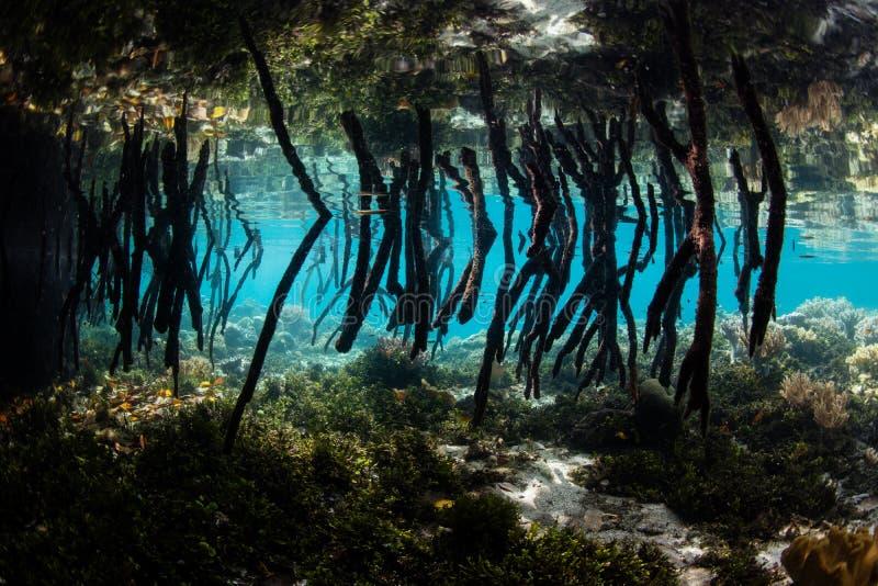 Prop Roots in Raja Ampat Blue Water Mangrove stock image