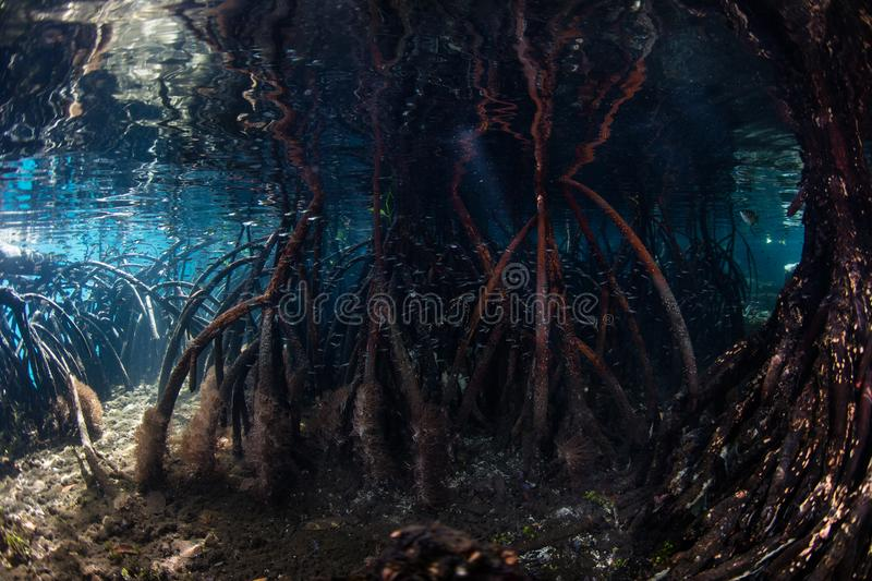 Prop Roots in Raja Ampat Mangrove Forest. Prop roots from red mangrove trees reach the seafloor in a blue water mangrove forest in Raja Ampat, Indonesia stock images