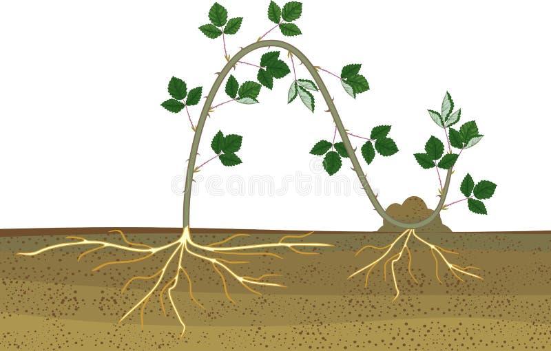 Propagazione mettendo a strati Schema vegetativo della riproduzione della pianta di Blackberry illustrazione vettoriale