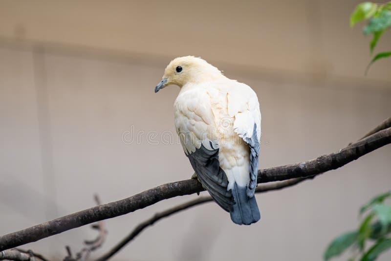 Propager bicolore d'oiseau de Ducula de pigeon impérial pie l'arbre image libre de droits