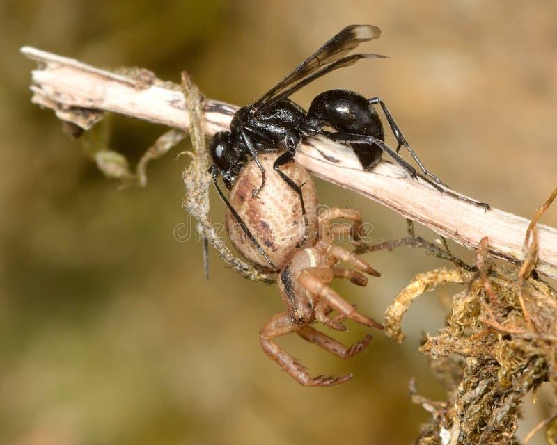 propinqua Priocnemis оси Паук-звероловства с парализовыванной добычей паука стоковые изображения rf