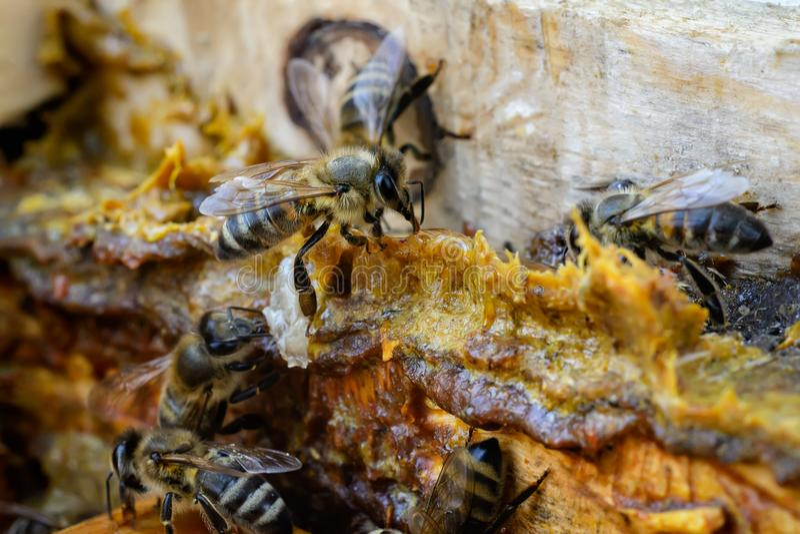Propolis au milieu d'une ruche avec des abeilles Colle d'abeille Produits d'abeille Apitherapy Traitement de propolis images stock