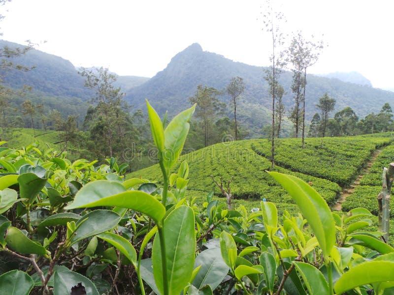 Propriedade Sri Lanka do jardim de chá fotografia de stock royalty free