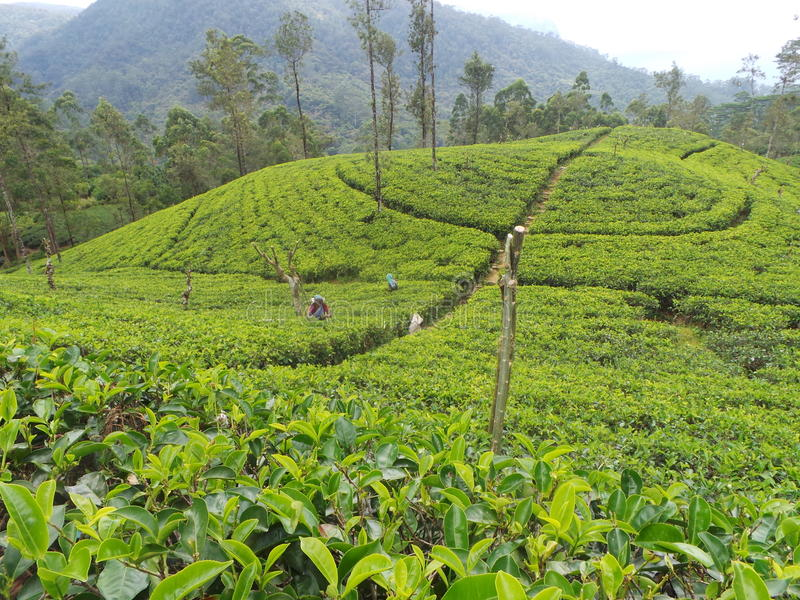 Propriedade Sri Lanka do jardim de chá fotos de stock royalty free