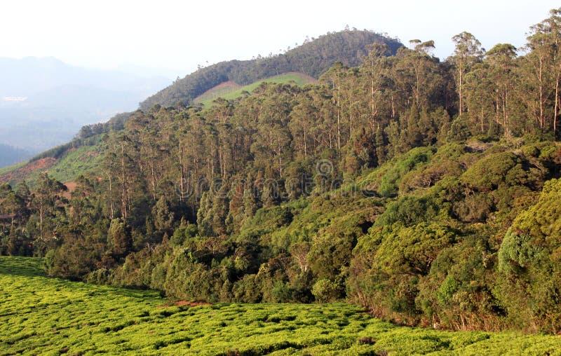 Proprietà del tè con gli alberi fotografie stock