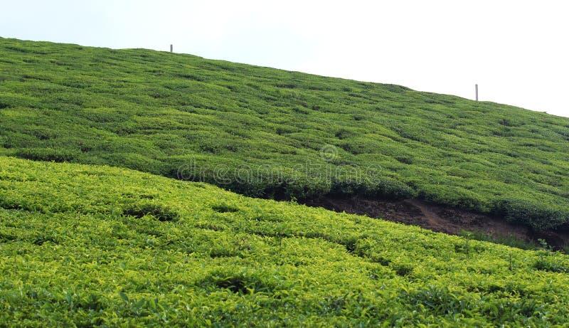 Proprietà del tè con il turista immagini stock libere da diritti