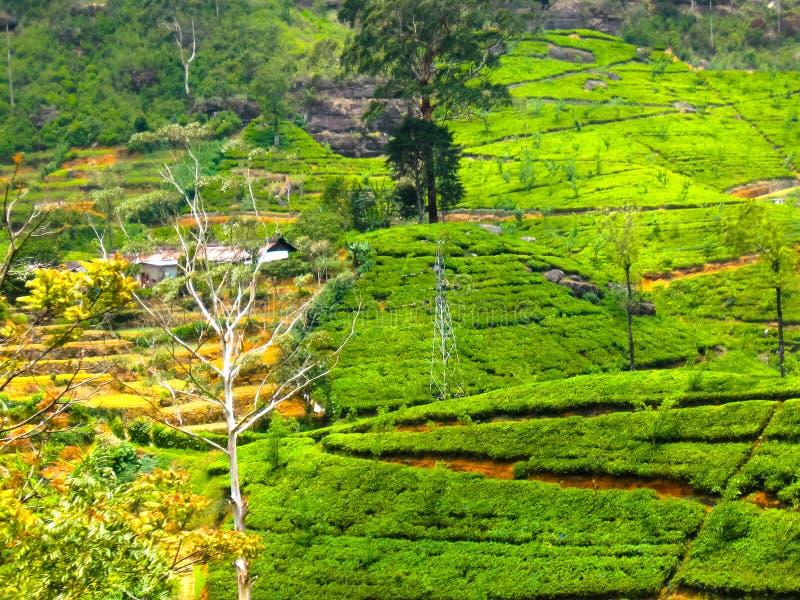 Proprietà del tè in Nuvara Eliya, Sri Lanka immagini stock libere da diritti