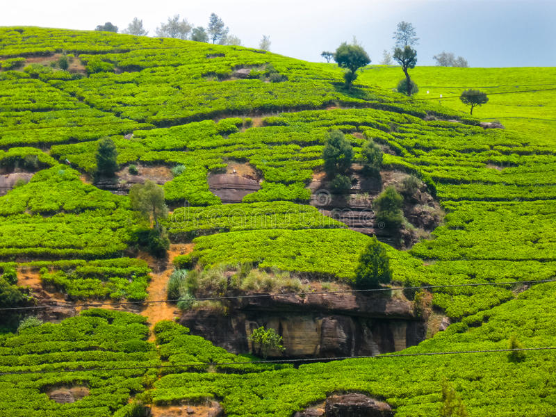 Proprietà del tè in Nuvara Eliya, Sri Lanka fotografia stock